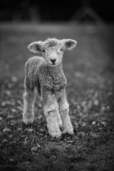 Romney Baby Lamb