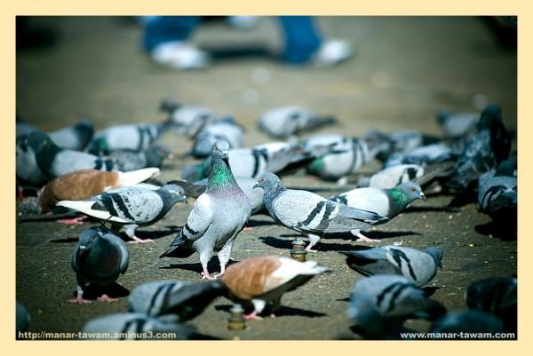 Pigeons_01