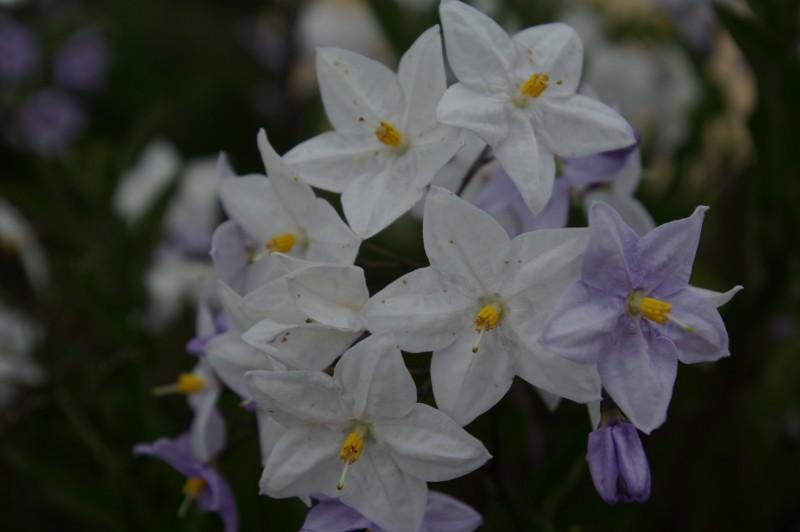Fleurs de chemin