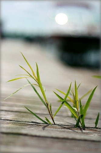 grass through the dock