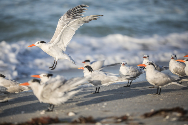 Group of Terns