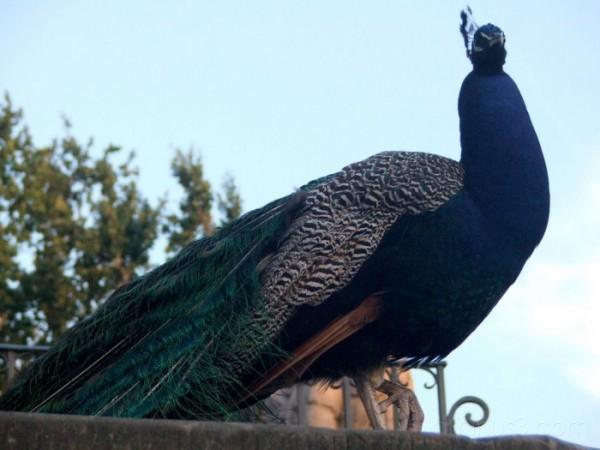 Peacock in park Lazienski, Warsaw