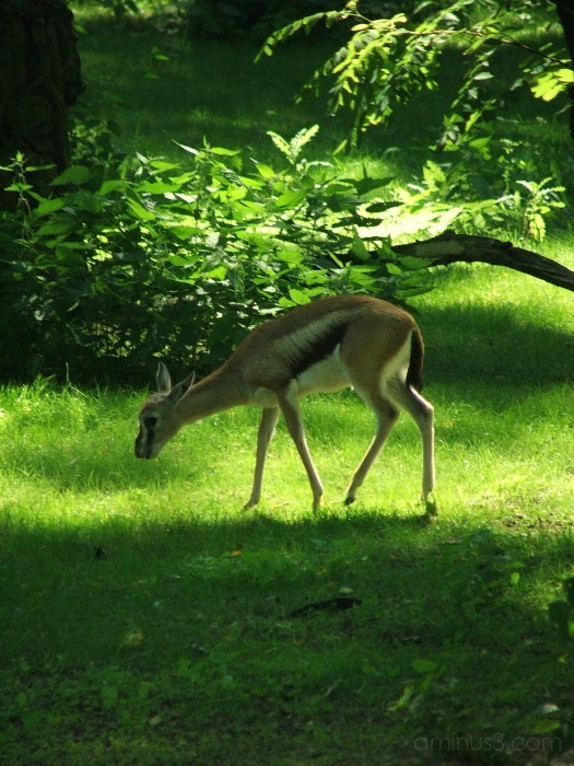 Deer stepping out to the sunshine