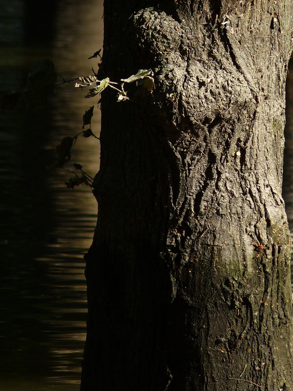 Tree trunk standing in the flood