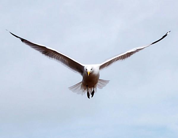 Seagull at Aldeburgh