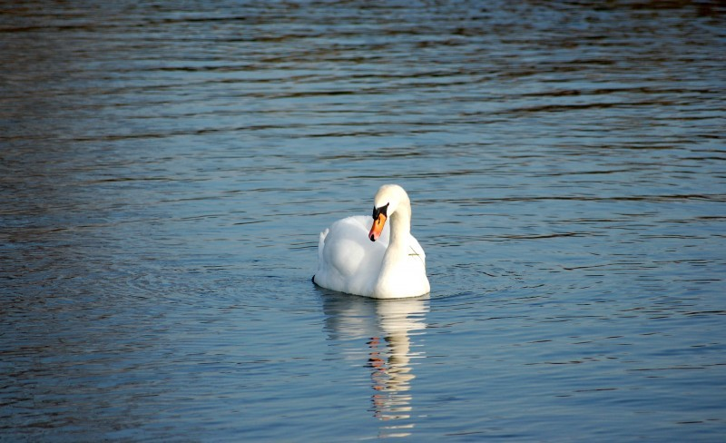 Swan on the Cam