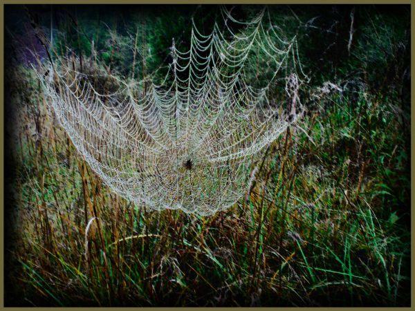 Spider in Dew