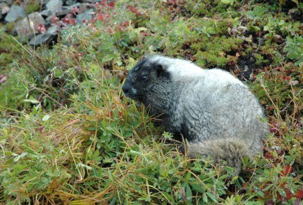 Marmott on Rainer