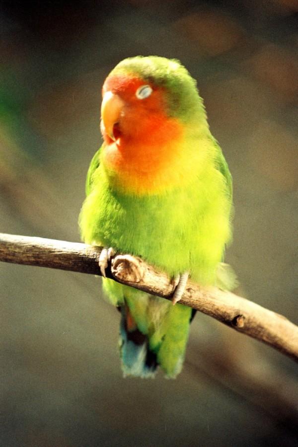 Resting Parrot