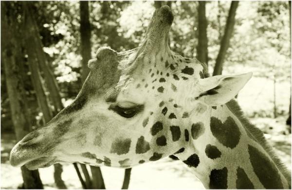 Giraffe in the Schmiding Zoo