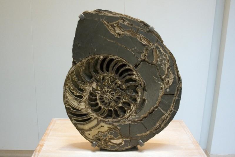 Ammonoidea
