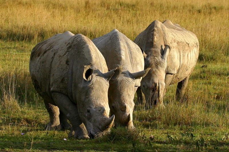 africa wildlife rhinos at Lake Nakuru - Kenya