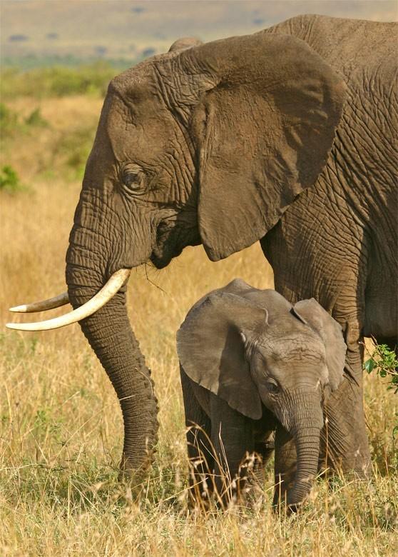 Elephants Masai Mara wildlife