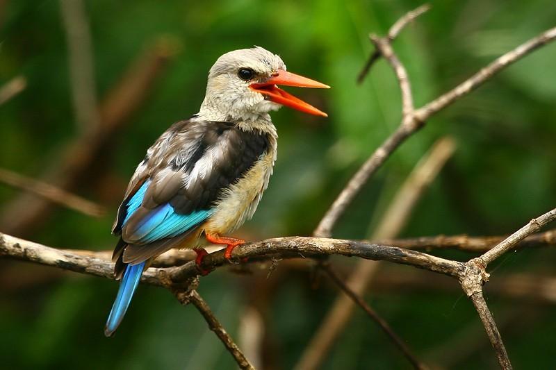 Lake Manyara kingfisher