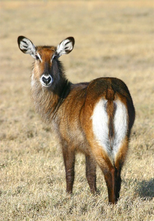 Waterbuck (Female) Kenya