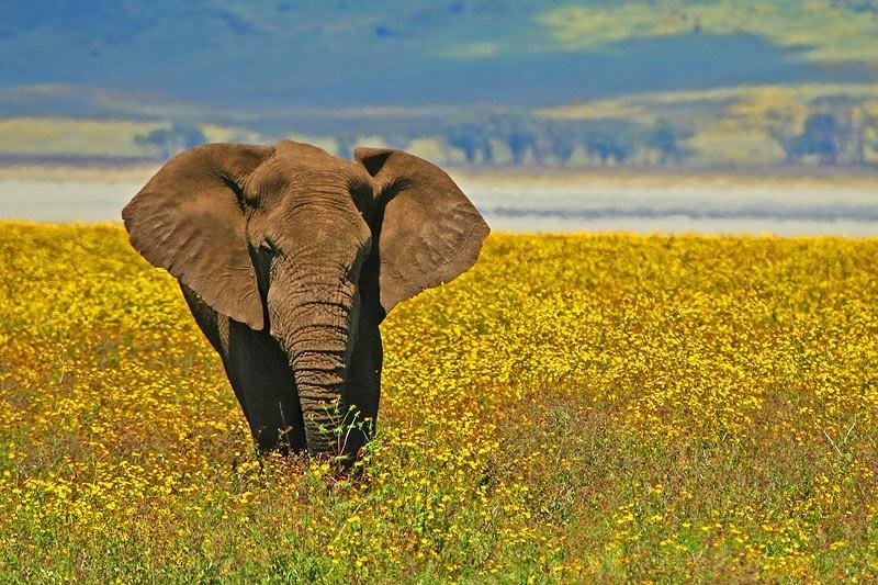 Elephant Ngorongoro Tanzania