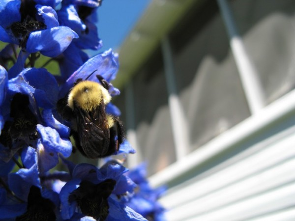 A busy bumblebee.
