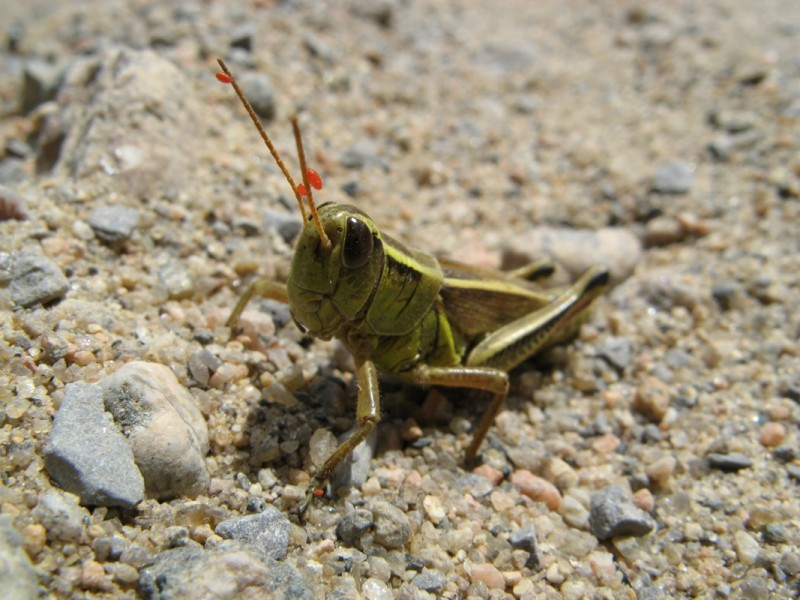 A grasshopper with red mites.