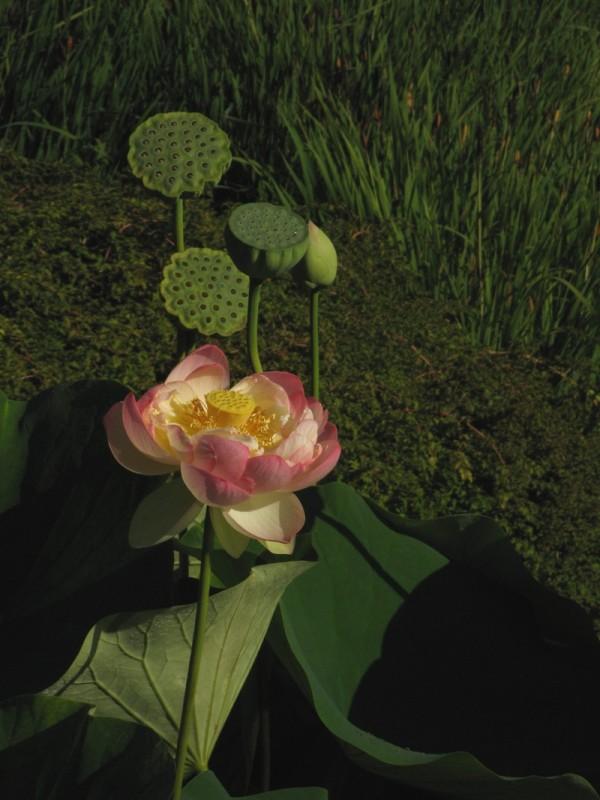 A lotus flower.