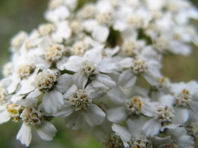 Some Yarrow (Achillea Millefolium).