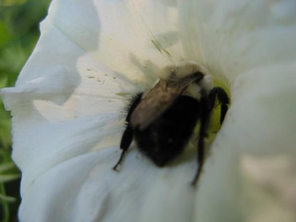 A dead bumblebee in a white petunia.