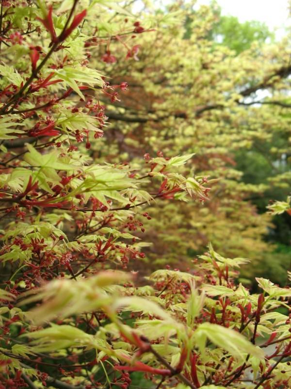 Some momiji (Japanese maple) in spring.