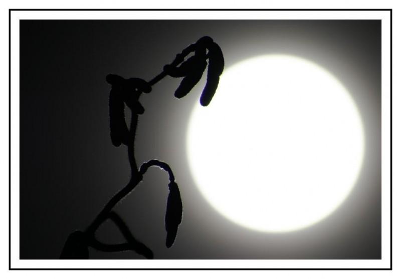 Strauch vor Mond