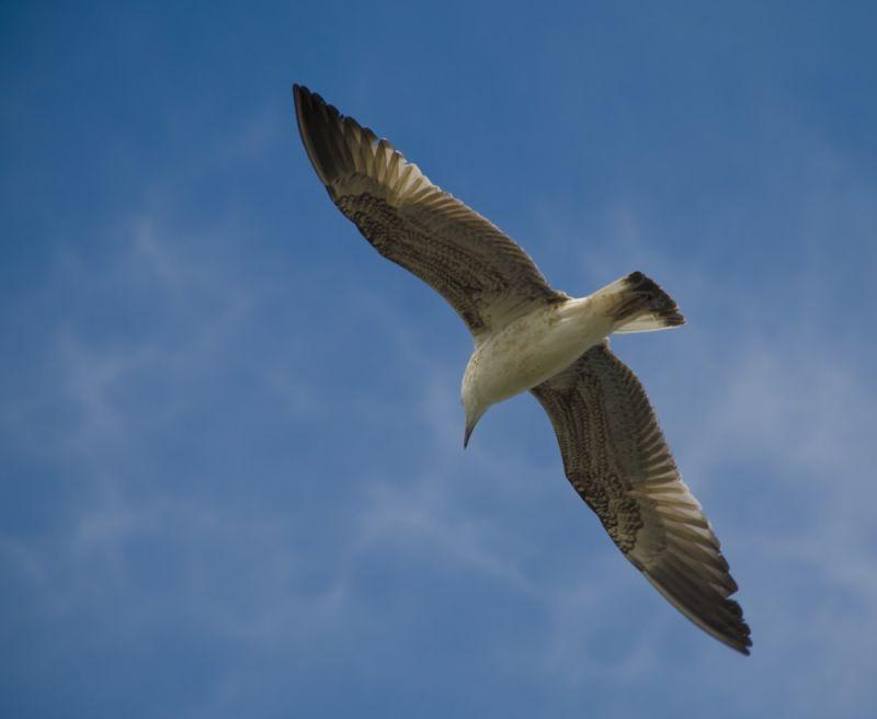 Seagull_II