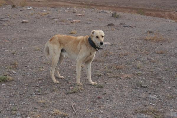 Shepherd's dog