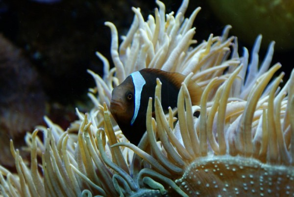 Clownfisch Nemo Clownfish