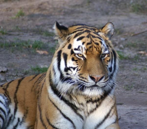 Tieger Tiger Nürnberg Wildlife