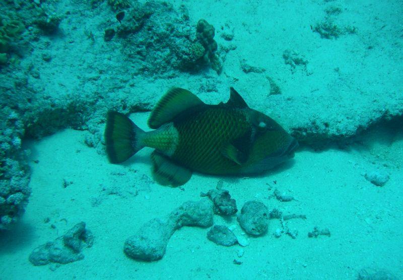 titan triggerfish, Riesendrücker, Drückerfisch