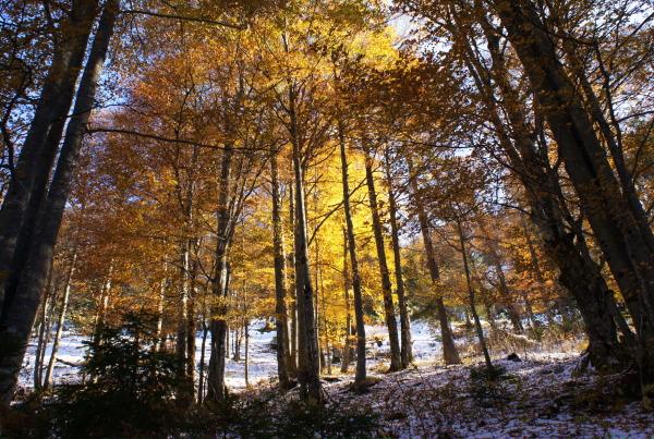 Verschneiter Herbstwald
