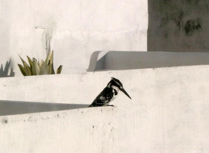 b/w kingfisher, udaipur, india