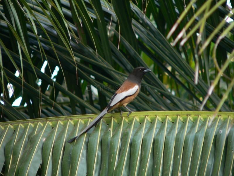 Rufus treepie bird Dendrocitta vagabunda