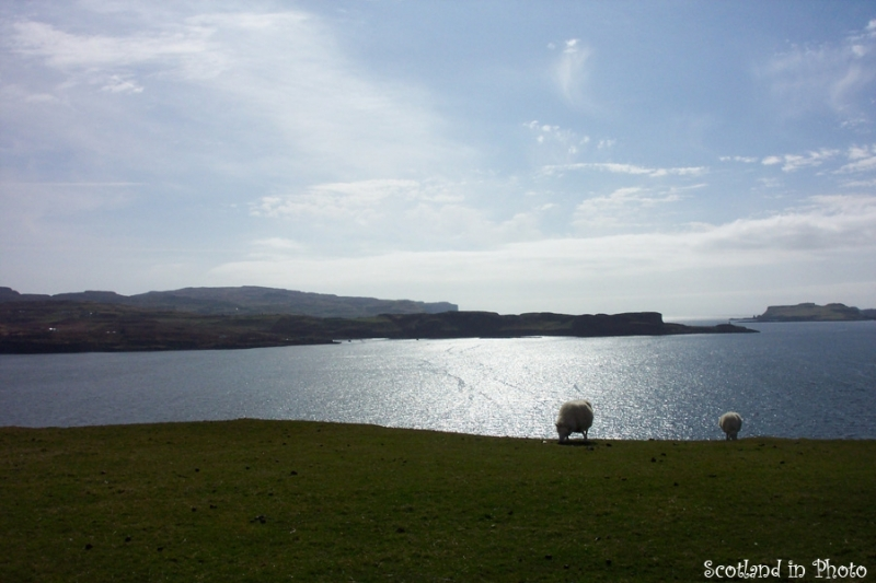 Sheep grazing next to Loch Harport