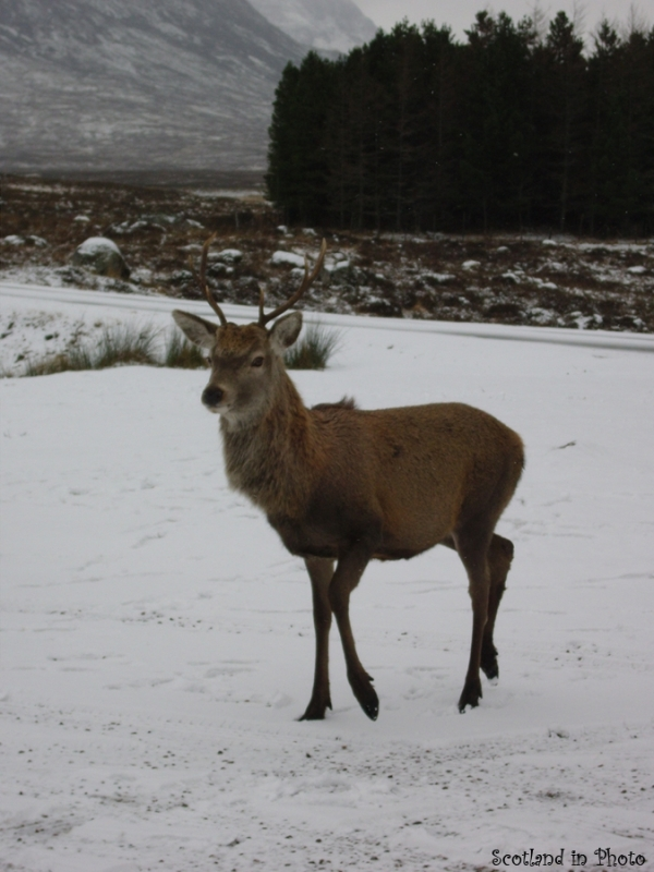 Friendly stag in Glen Coe looking for food