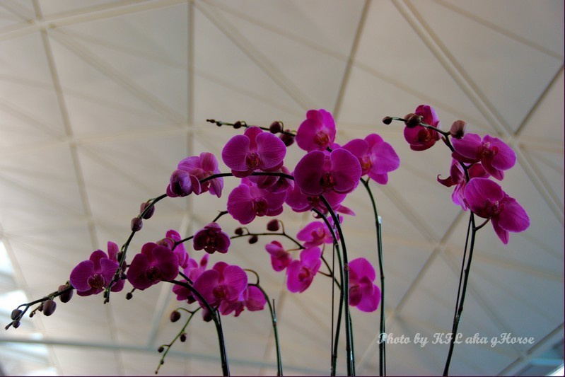flower airport HongKong orchad