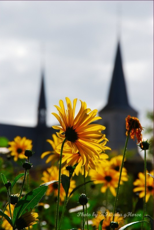 Flower Yellow Church Beguinage Belgium