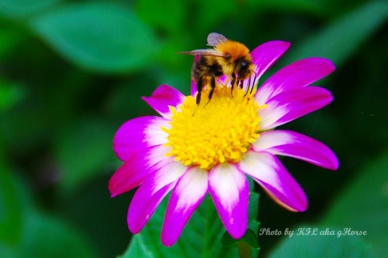 bee flower botanic garden leuven Belgium