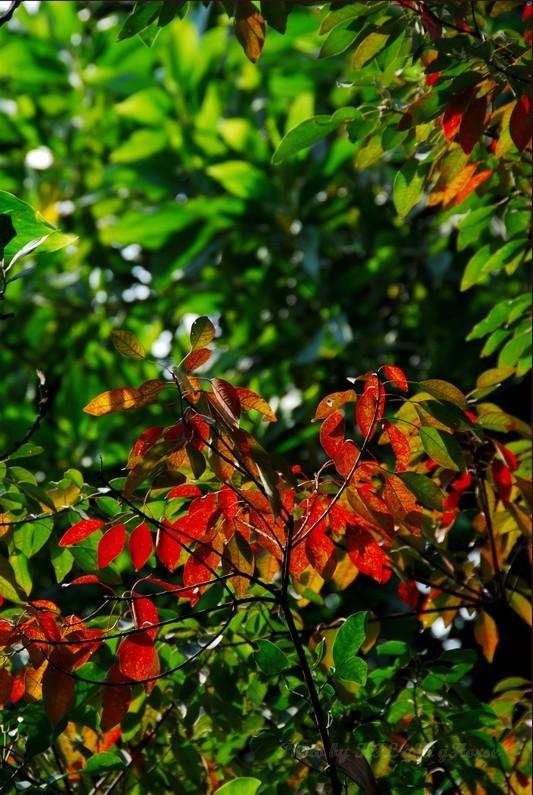 Shenzhen YuenBoYuen Red Leaf Sun Tree