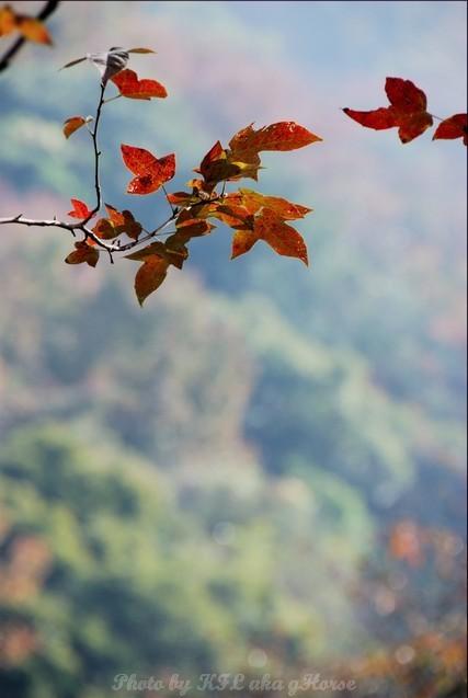 Red Leaf ShekMun