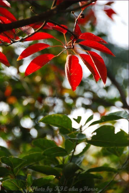Red Leaf ShekMun