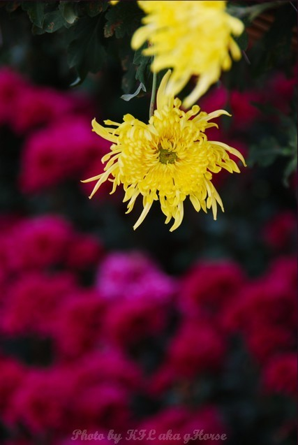 YinYuen Flower Exhibition Yellow Purple