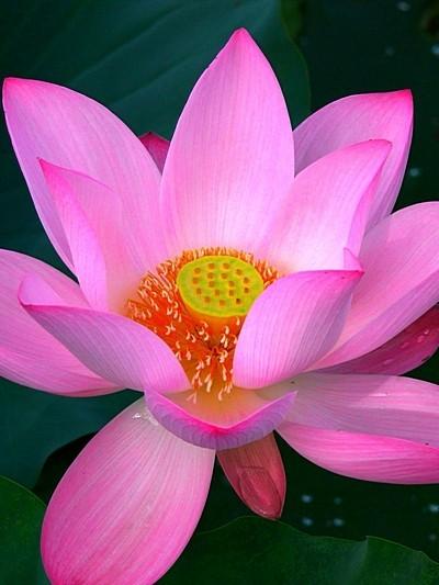 Danxia Pink Lotus Flower