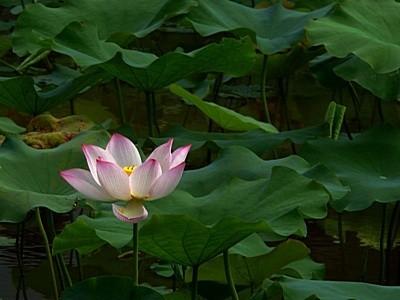 Danxia Lotus Flower Sun