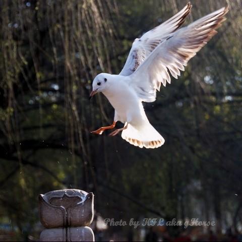 DongChuanRedland Kunming Park Morning Seagull Fly
