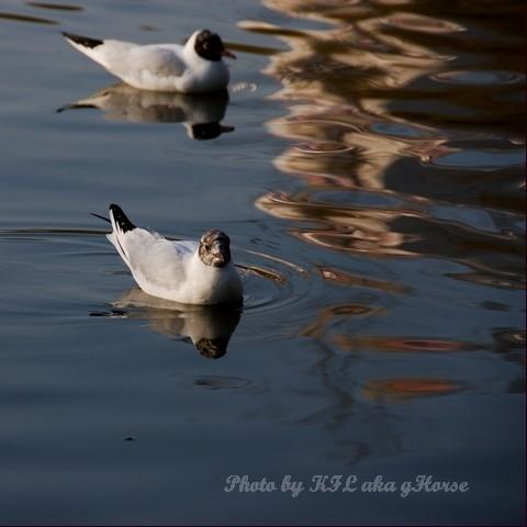 DongChuanRedland Kunming Park Morning Seagull Swim