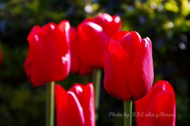 DongChuanRedland Kunming Park Morning Flower Tulip
