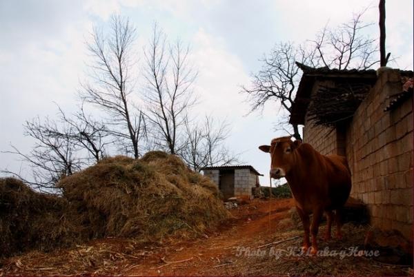 dongchuanredland redland cow tree village